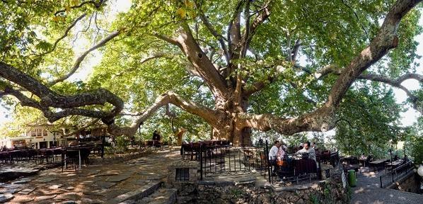 Musa Ağacı, Hıdırbey köyü, Samandağ