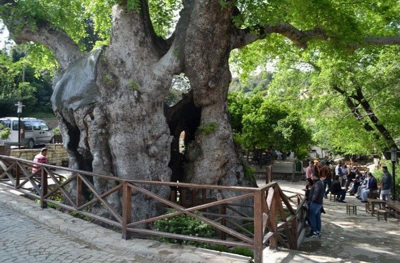 Musa Ağacı, Hıdırbey köyü, Samandağ.